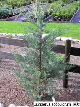 Juniperus scopulorum 'MX'