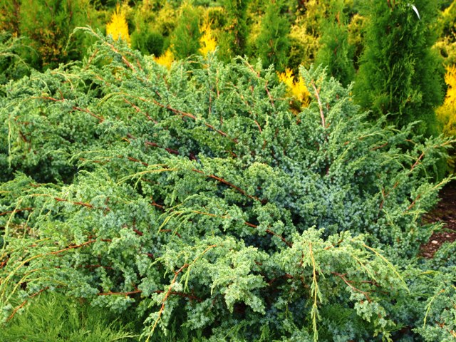 Juniperus chinensis 'Blue Alps'