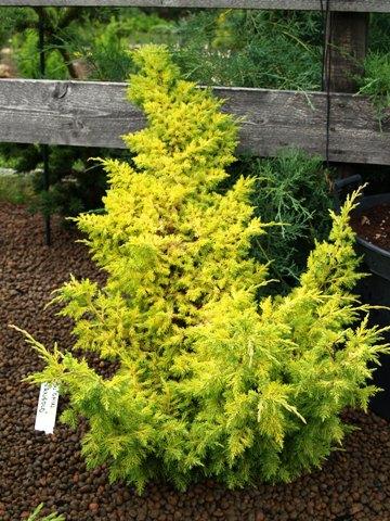 Juniperus chinensis 'Ferngold'