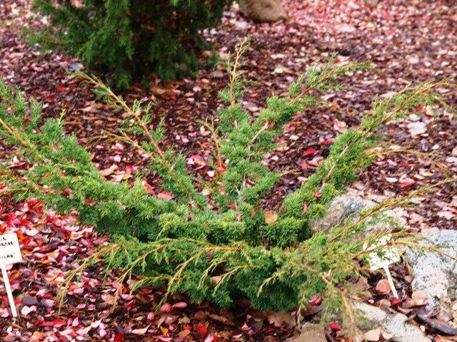 Juniperus chinensis 'Globosa Cinerea'