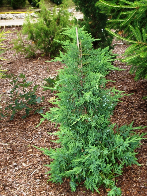 Juniperus chinensis 'Maney'