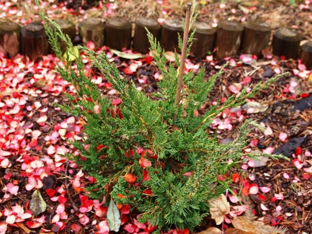 Juniperus chinensis 'Olympia'