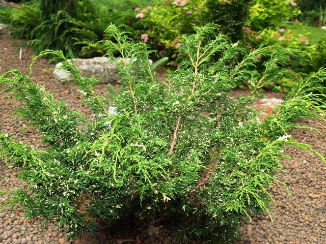 Juniperus chinensis 'Plumosa Albovariegata'