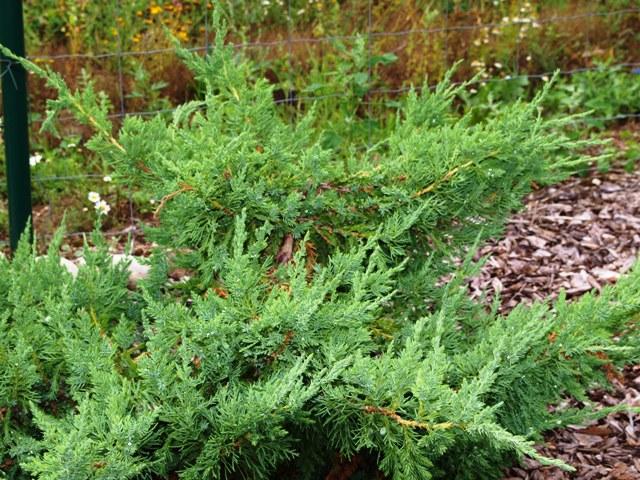 Juniperus chinensis 'Rushmore'