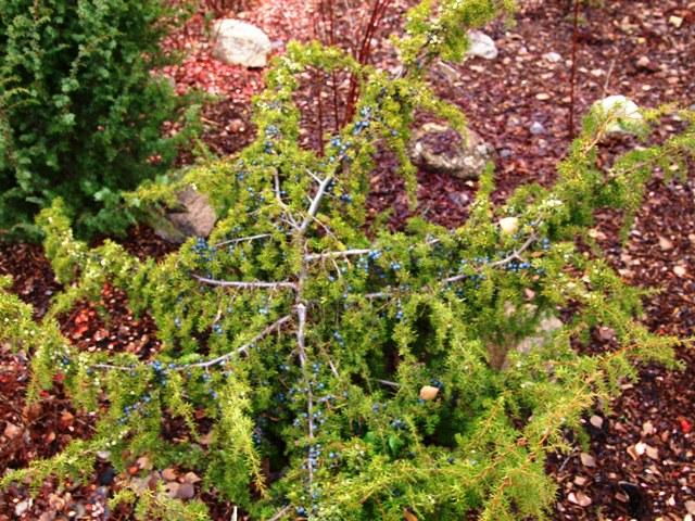 Juniperus communis 'Aureospicata'