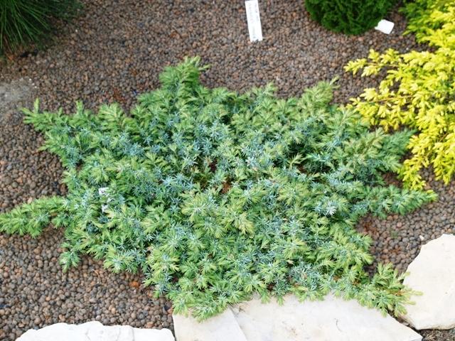 Juniperus conferta 'Silver Mist'