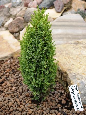 Juniperus communis 'Brynhyfryd Gold'