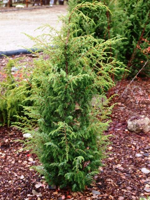 Juniperus communis 'Cracovia'