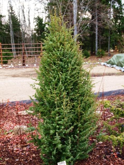 Juniperus communis 'Dalpilen'