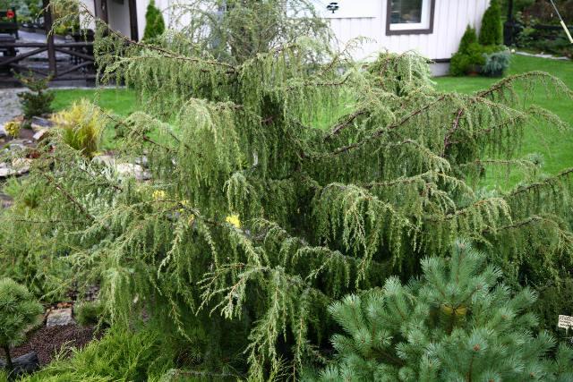 Juniperus communis 'Fontän'