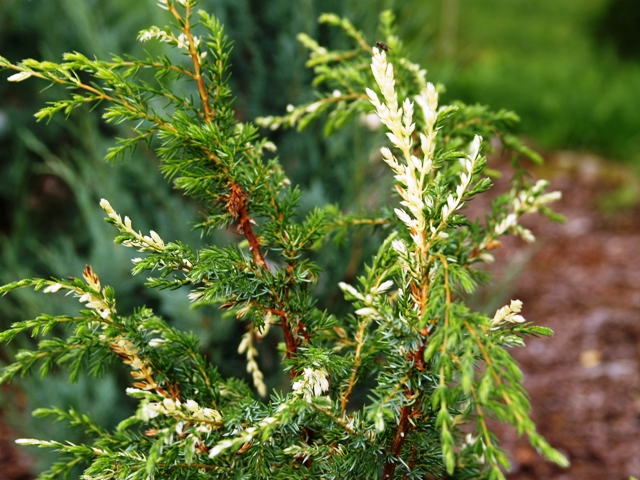 Juniperus communis 'Constance Franklin'