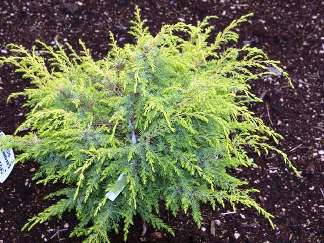 Juniperus communis 'Hemson'
