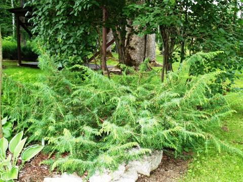 Juniperus communis 'Jako'