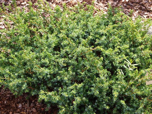 Juniperus communis 'Jeddeloh'