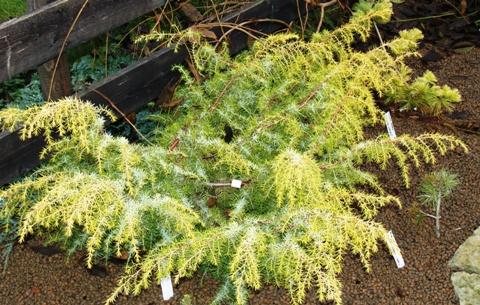 Juniperus communis 'Kalebab'