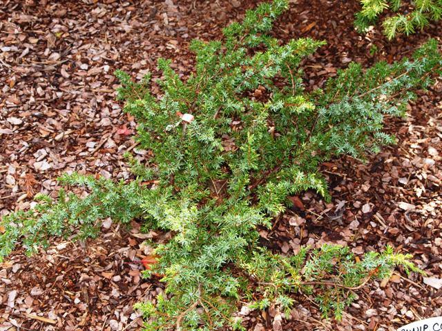 Juniperus communis 'Kenwith Castle'