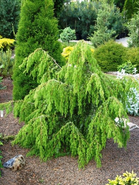 Juniperus communis 'Laxa'
