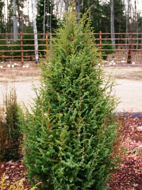 Juniperus communis 'Örsgänga'