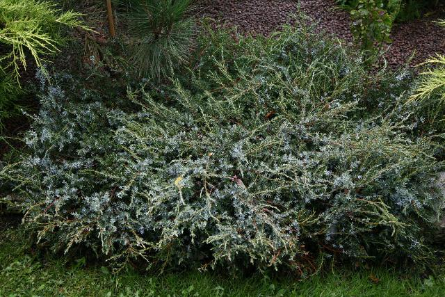 Juniperus communis 'Sterling Silver'