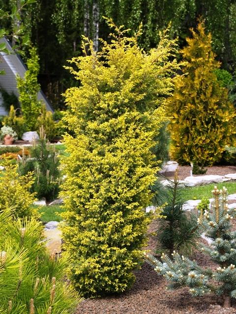 Juniperus communis 'Suecica Aurea'