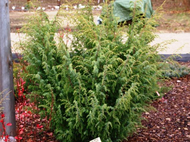 Juniperus communis 'Wallis'
