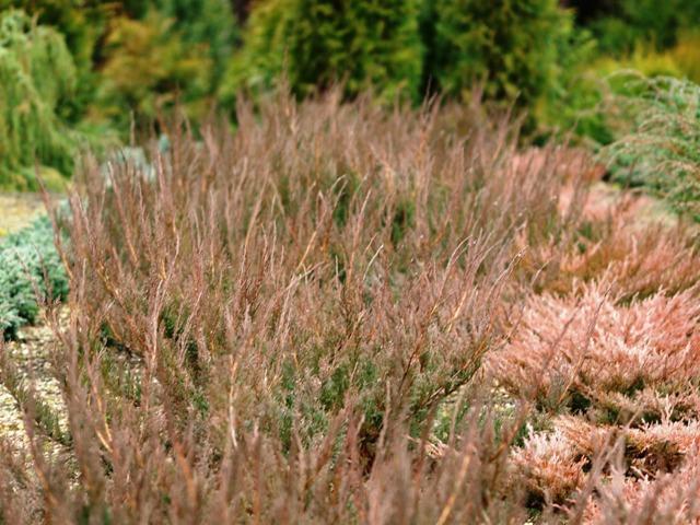 Juniperus horizontalis 'Alpina'
