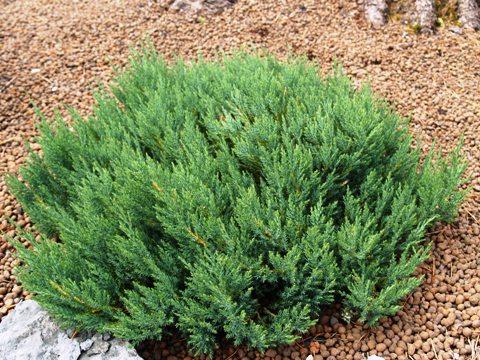 Juniperus horizontalis 'Blue Forest'