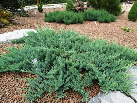 Juniperus horizontalis 'Blue Moon'