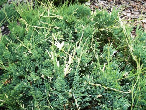 Juniperus horizontalis 'Variegata'