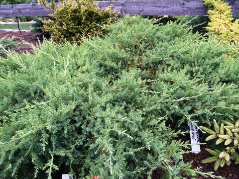 Juniperus x media 'Arctic'