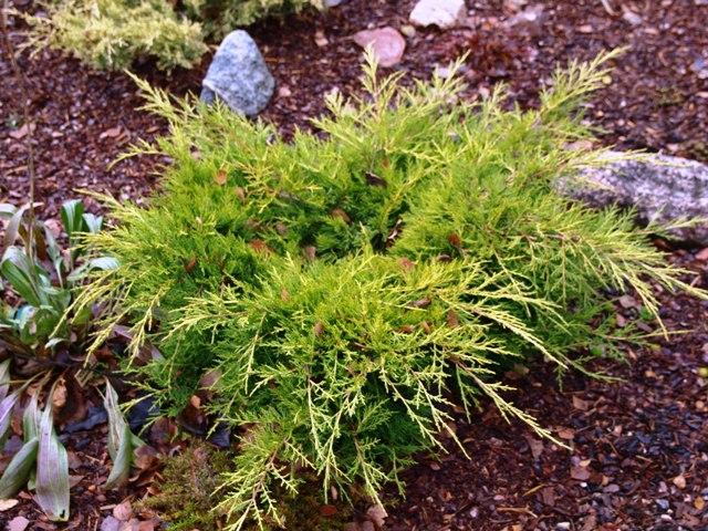 Juniperus x media 'Blound(Gold Sovereign)'