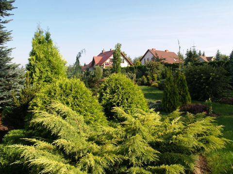 Juniperus x media 'Gold Star'