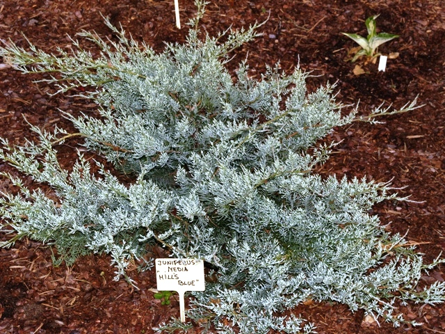 Juniperus x media 'Hill's Blue'