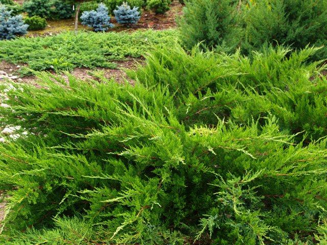 Juniperus x media 'Mint Julep'