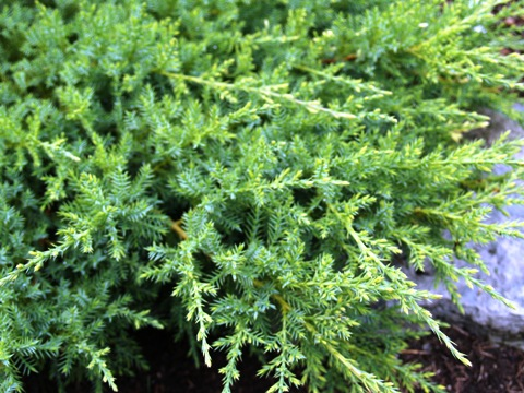Juniperus x media 'Filip's Wai Momi'
