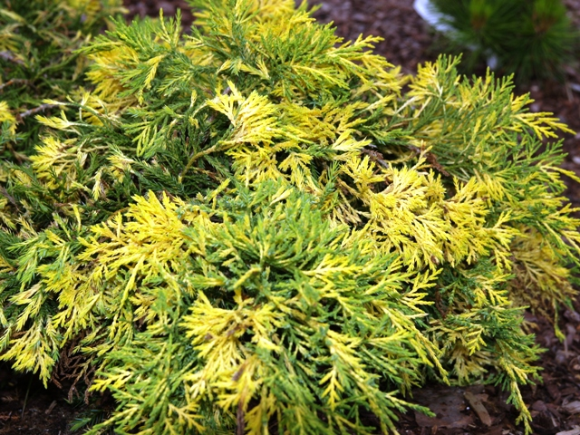 Juniperus x media 'Winter Surprise'