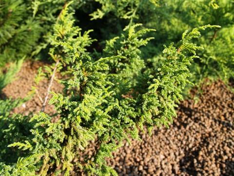 Juniperus pingii 'Glassell'