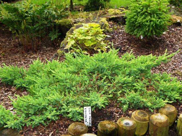 Juniperus procumbens 'Kishiogima'