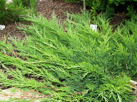 Juniperus sabina 'Calgary Carpet'