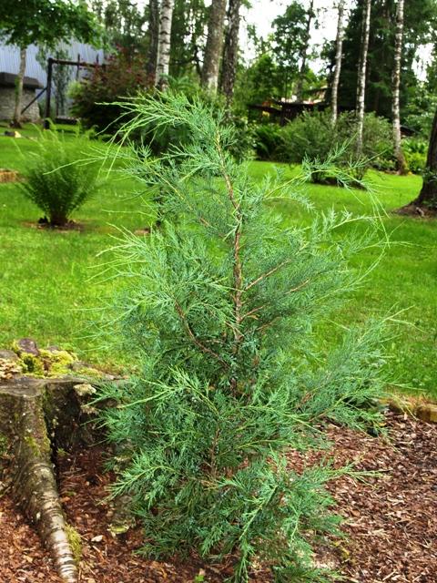 Juniperus sabina 'Fastigiata'