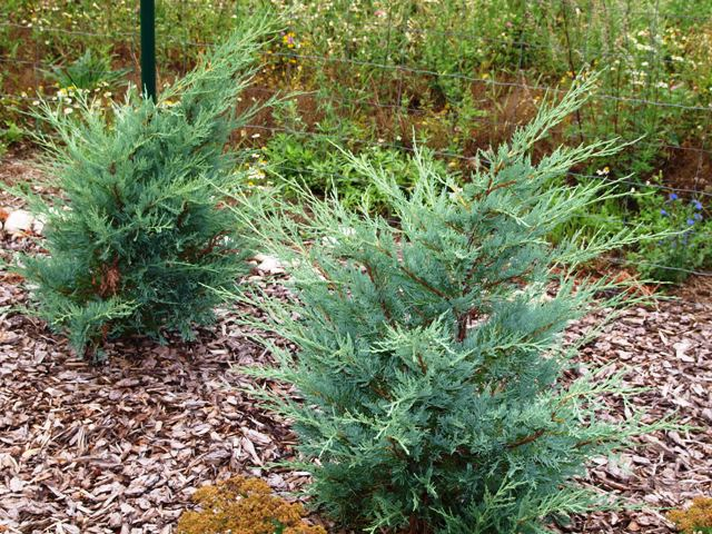 Juniperus scopulorum(J. virginiana) 'Moonglow'