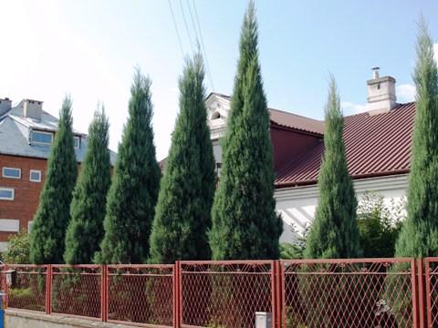 Juniperus scopulorum(J. virginiana) 'Skyrocket'