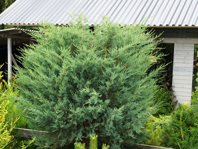 Juniperus scopulorum 'Witchita Blue'