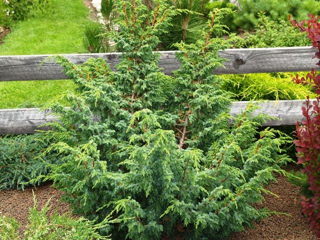 Juniperus squamata 'var. fargesii'