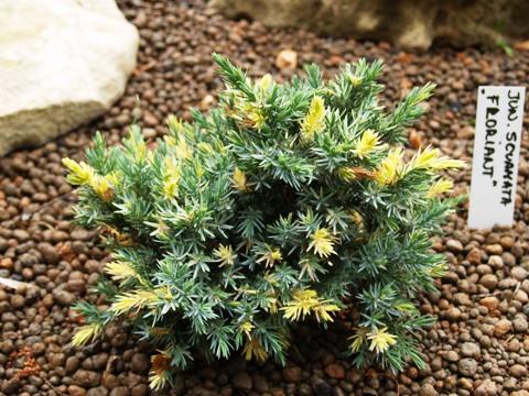 Juniperus squamata 'Floreant'