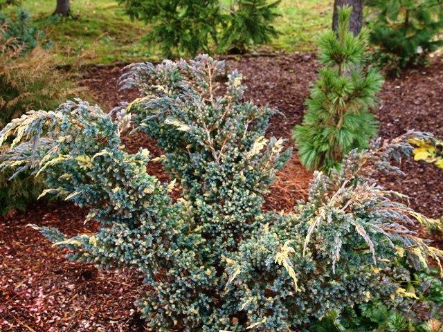 Juniperus squamata 'Golden Flame'