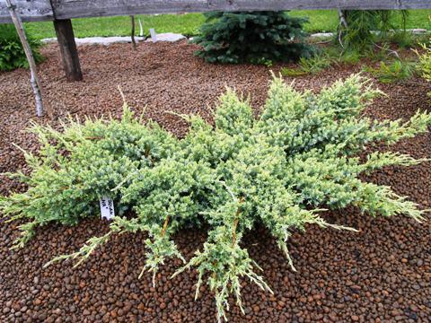 Juniperus squamata 'Selma'