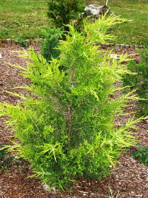 Juniperus virginiana 'Aranyesö'