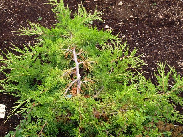 Juniperus virginiana 'Elegantissima'