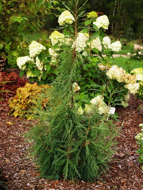 Juniperus virginiana 'Fastigiata Glauca'